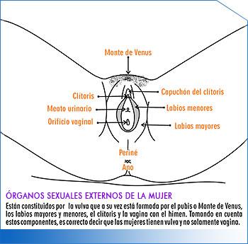 Órganos sexuales femeninos | Amssac | Asociación Mexicana para la ...